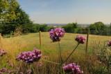 Verbena  Bonariensis  overlook  North  London.