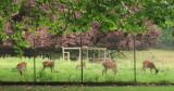 Deer  in  their  enclosure .
