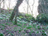 Snowdrops  on  the  motte (1)