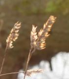 Rye grass husks in late sunlight
