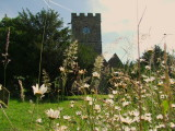 Ox-eye  daisies in front of  the  church  tower.
