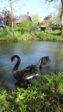 Two  black  swans , in  their  own  pond.
