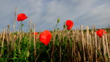 Red  poppies  in  the  stubble.