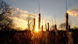 The  setting  sun, shines through  a  stand  of  last  year's  bullrushes.