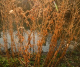 Decaying  weeds  on  the  riverbank .