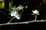 Blackthorn  blossom  against  dark  shadows