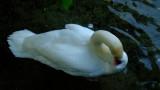 A  swan  preening  itself.