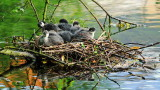 A  nest  full  of  coots.