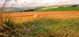 Harebells  mid  the  long  grasses