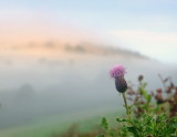 A  lone  thistle  greets  the  morning  mists  near  Hopesay.