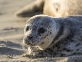 Baby Seal 9415