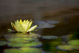 Water Lily 1348