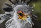 Secretary Bird 7193