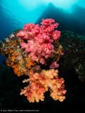 Soft corals- Daram