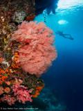 Seafan near the surface - Daram