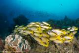 Yellow fish - Daram