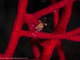 Tiny Shrimp - Misool