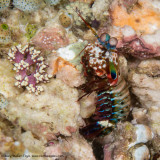 Mantis Shrimp - Misool