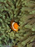 Nemo - Misool