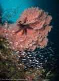 Kaleidoscope seafan - Pele