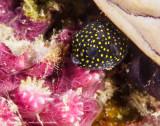 Juvenile box fish - Aljui Bay