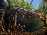 Mangrove roots 2