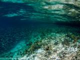 Mangrove fish swarm