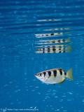 Archerfish & silversides