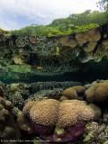 Mangrove reflected corals