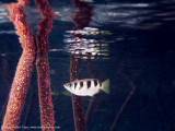 Mangrove archer fish