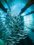 Schooling fish - Arborek Jetty