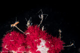 Skeleton shrimp on softcoral - Arborek Jetty (EM1)