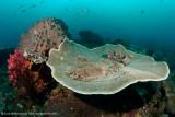 Woebegone on table coral - Dampier Strait