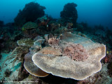 Two (mating?) woebegone sharks - Dampier Strait
