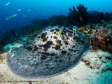 Marble ray - Dampier Strait (EM1)