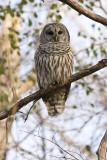 Chouette rayée -- _MG_9279 -- Barred Owl