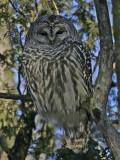 Chouette rayée -- _IMG_1446 -- Barred Owl