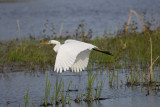 Grande Aigrette // Great Egret