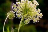 Wild Wall Flower