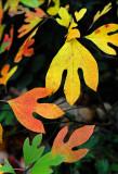 Fall Leaves R.jpg