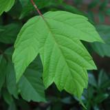 D60 green leaf crop R.jpg