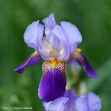 Iris Single adj R.jpg