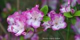 horiz pink white R.jpg