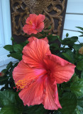 Hibiscus R.jpg