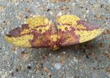 Cammo Moth R.jpg