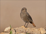 Black Redstart-Zwarte Roodstaart - Phoenicurus ochruros
