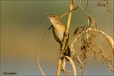 Savi's Warbler - Snor