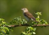 Garden -Warbler - Tuinfluiter