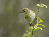 Willow Warbler - Fitis