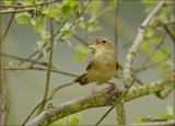 Grasshopper warbler - Sprinkhaanzanger